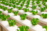 Earning money Hydroponic Gardening at Home